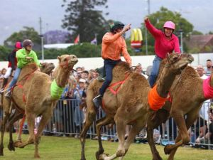 Camel Races at Penrith Paceway - Pubs and Clubs