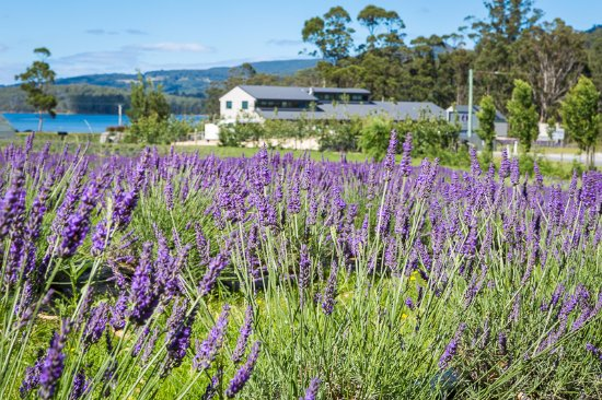 Port Arthur Lavender - Pubs and Clubs